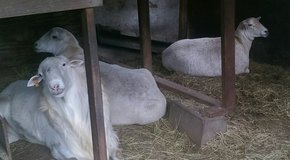 Sheep in Coldspring, Texas