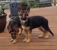 Healthy German Shepherd puppies in Heidelberg, GE