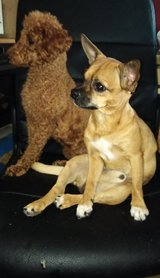 Chihuahua 5 months male  and miniature poodle male l in Wiesbaden, GE
