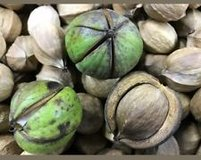 Free  Hickory Nut's in Livingston, Texas
