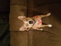 Boxer Mix in Fort Polk, Louisiana