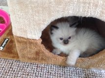Twin Ragdoll Male and Female Kittens For Homes in Huntsville, Alabama