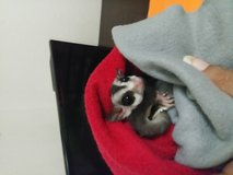 Two female sugar gliders & new 4 ft cage. in Lake Charles, Louisiana