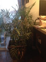 5 foot Palm Tree in beautiful planter in Orland Park, Illinois
