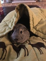 Male guinea pig needs new home in Westmont, Illinois