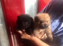 REGISTERED POMERANIAN PUPPIES FOR RE-HOMING in Anchorage, Alaska