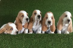 Home Raised Basset Hound Puppies in Columbia, South Carolina