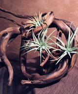 Air Plant in Vacaville, California