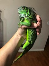 1 yr old iguana male in Fort Leonard Wood, Missouri