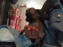 Registered TeaCup Chihuahua Puppies in Pasadena, Texas