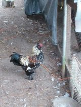 roosters in Hinesville, Georgia