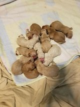 AKC Golden Retriever puppies 3  boys left in Tacoma, Washington