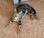 Missing tabby DSH cat $200 REWARD in Fort Leonard Wood, Missouri