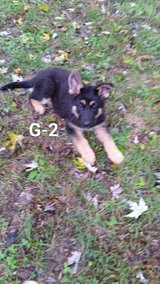 AKC German Shepherd puppies in Dover, Tennessee