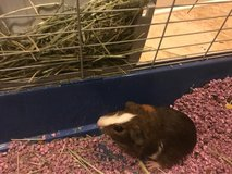 Reduced - Baby Guinea Pig in Leesville, Louisiana