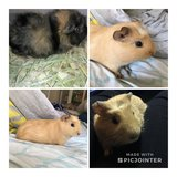 Pair of guinea pigs needs a new home asap in Bolingbrook, Illinois
