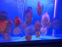 mixed discus fish in Lakenheath, UK