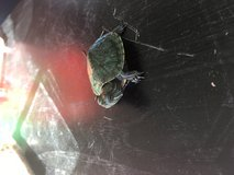 BABY PET Turtle in 29 Palms, California