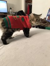 missing family cat tiger in Yucca Valley, California