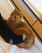 Lost orange tabby in Aurora, Illinois
