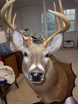 Beautiful, Large,10 Point Buck Taxidermy in Byron, Georgia