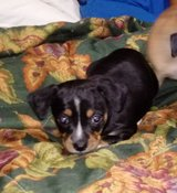 Mini Dachshund puppies in Baytown, Texas