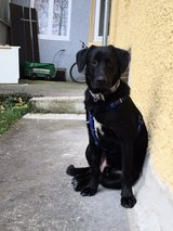 Black Lab Mix Looking for a Home in Stuttgart, GE