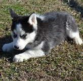 cute siberian husky  puppies in Fort Rucker, Alabama