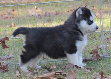 cute siberian husky  puppies in Vicenza, Italy
