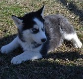 cute siberian husky  puppies in Tacoma, Washington