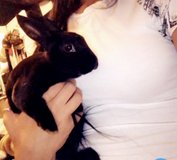 Rabbit for Rehome in Bolingbrook, Illinois