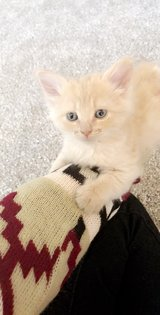 2 kittens need forever home!! 8 weeks in Yucca Valley, California