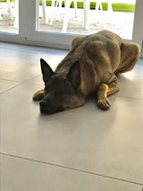 In-home dog sitter wanted in Ramstein, Germany
