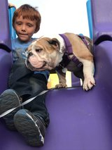 English Bully girl in Miramar, California