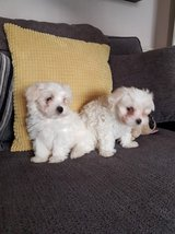 Adorable Maltese puppies for FREE in Clarksville, Tennessee