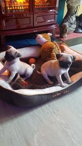 FREE PUG PUPPIES in Clarksville, Tennessee