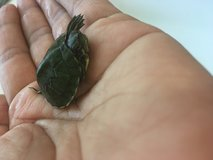 BABY PET Turtle in Yucca Valley, California