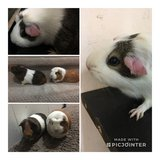 Trio of Guinea Pigs need home ASAP in Naperville, Illinois