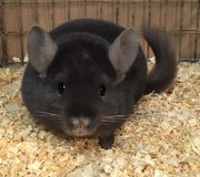 9 Month Old Sapphire Wrap Male Chinchilla -- gorgeous color! in Chicago, Illinois