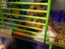 2 Hamsters with cage in Fort Leonard Wood, Missouri