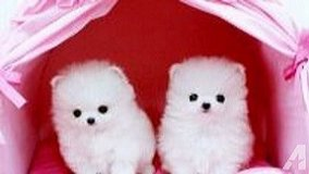 Pomeranian Pups/*sMs(317)623-8716 in Fort Carson, Colorado