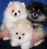 Beautiful Pomeranian puppies Available/*sMs(317)623-8716 in Melbourne, Florida