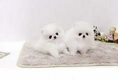 Pomeranian Puppies Available Free/*sMs(203) 694-0908 in Louisville, Kentucky