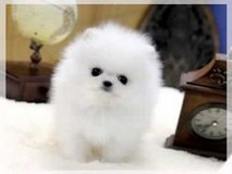 Looking Pomeranian Puppies for adoption/*sMs(203) 694-0908 in Springfield, Missouri