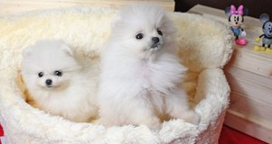 Home Trained Pomeranian Puppies /*sMs(203) 694-0908 in Bellevue, Nebraska
