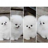 Purebred Pomeranian Puppies/*sMs(203) 694-0908 in Providence, Rhode Island