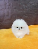 Perfect Tea-Cup Pomeranian Puppies/*sMs(203) 694-0908 in Fort Lewis, Washington