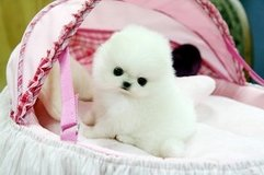 Pomeranian Pups Available/*sMs(203) 694-0908 in Chicago, Illinois