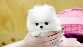 Gorgeous Pomeranian Puppies Available/*sMs(203) 694-0908 in Las Vegas, Nevada