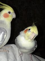 Parakeets, Cockatiels, Lovebird, Quaker for adoption (rescue) in Naperville, Illinois
